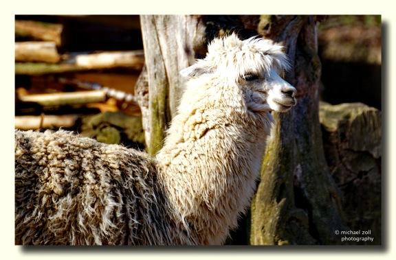Es gibt einfarbig weiße, braune und schwarze Lamas...
